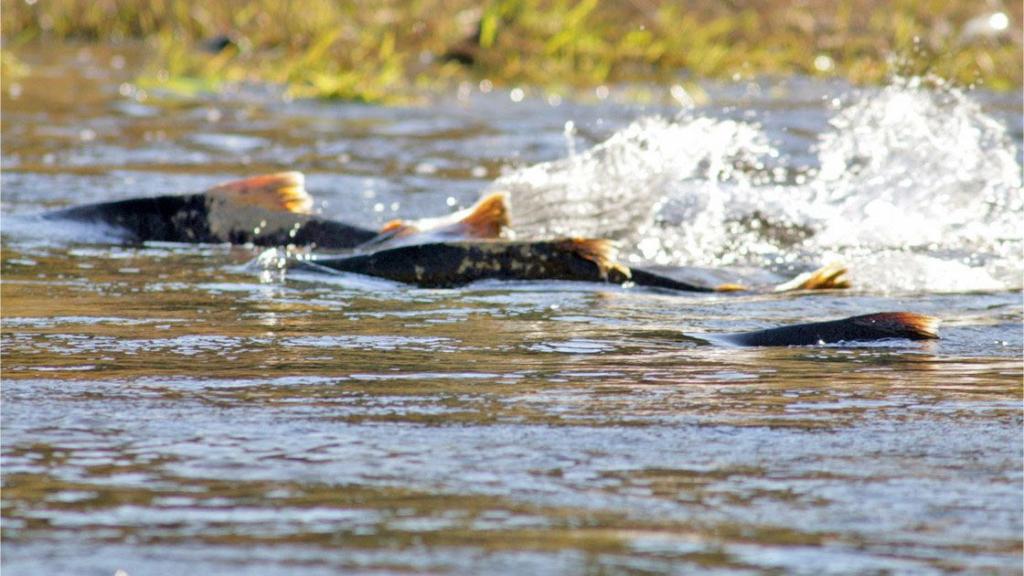 Chinook salmon swim in warming rivers
