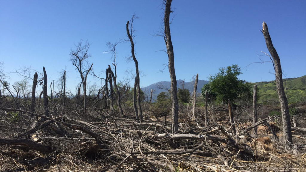 A riparian woodland along the Santa Clara River in Southern California experienced almost 100 percent mortality during the state's historic drought that lasted from 2012 to 2016. Credit: John Stella