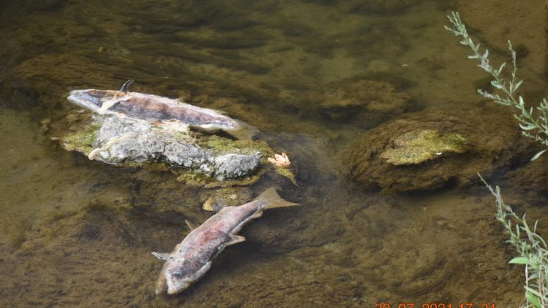Two of over 12,000 spring Chinook salmon that died in Butte Creek before spawning. Photo by Allen Harthorn, Friends of Butte Creek.