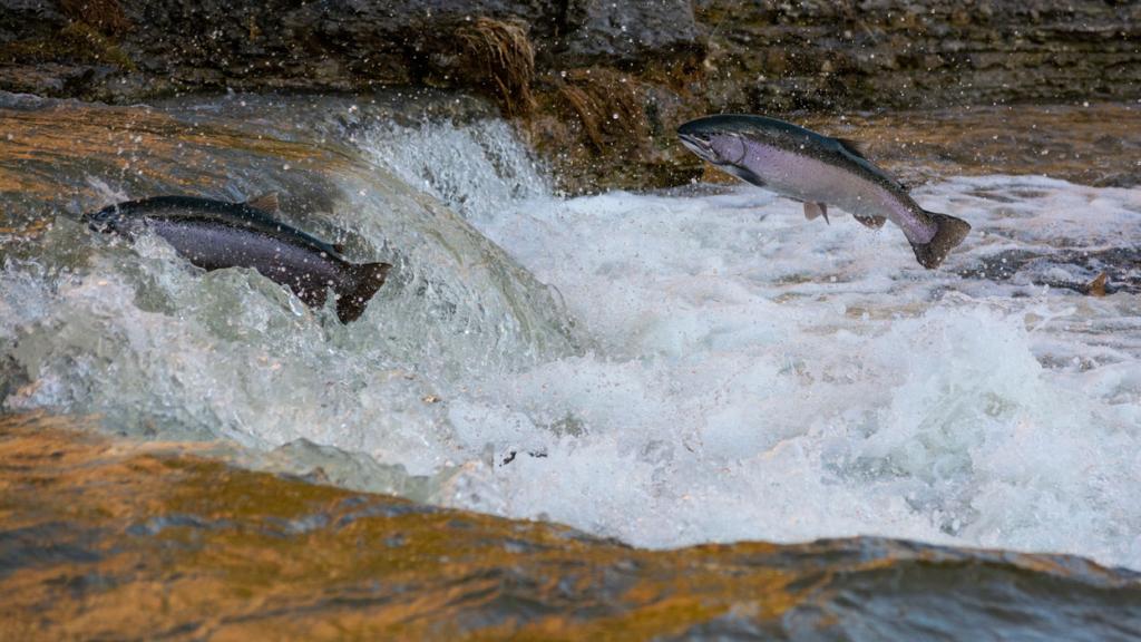salmon struggle up small waterfall