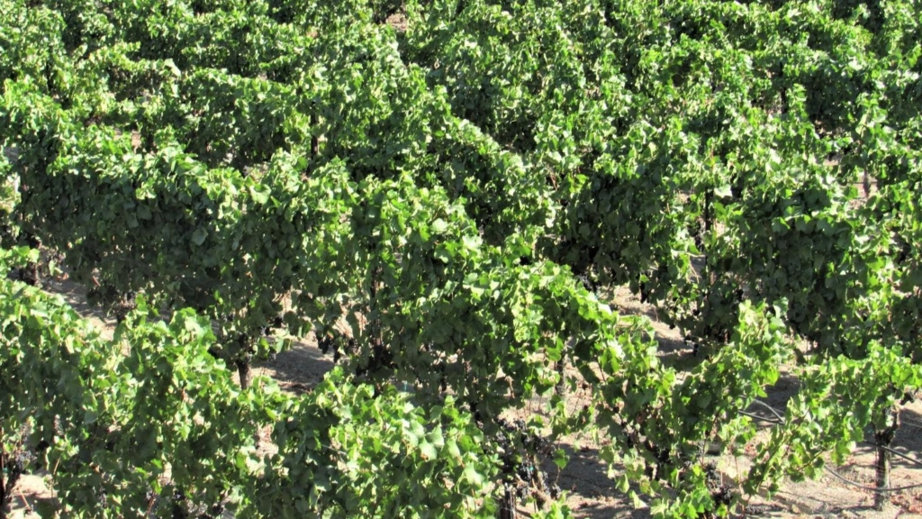 Wine grapes grow near Santa Rosa, Calif.